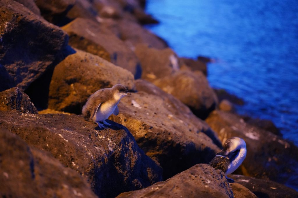 You don't have to leave Melbourne to see penguins - they waddle up to the beach every night in St Kilda
